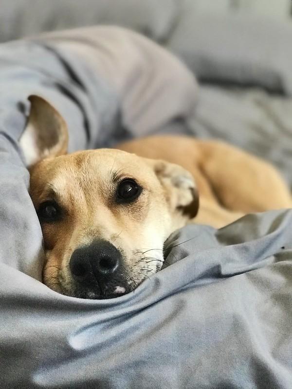 Hund vilar i hundbädd